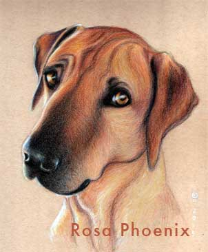 colored pencil drawing of dog by Rosa Phoenix