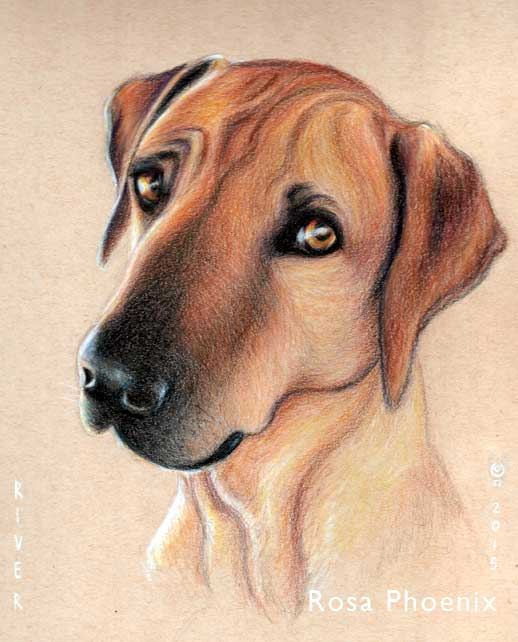 dog portrait in colored pencil by Rosa Phoenix