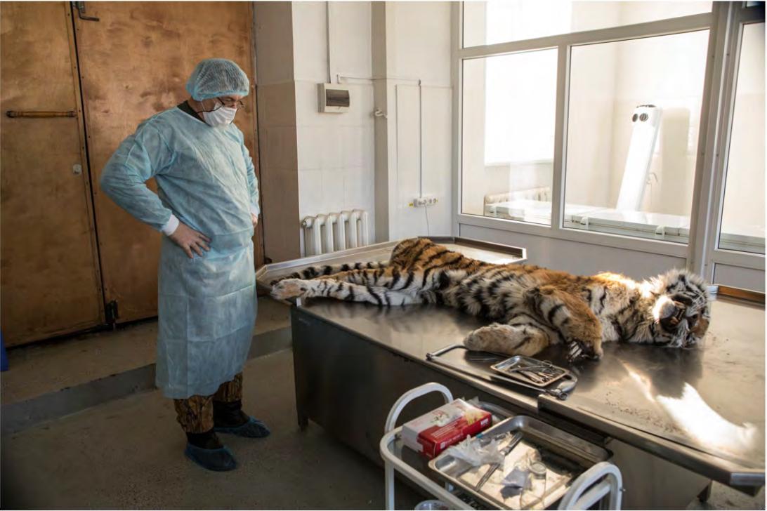 tiger autopsy