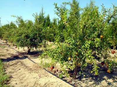 McTeer Pomegranates