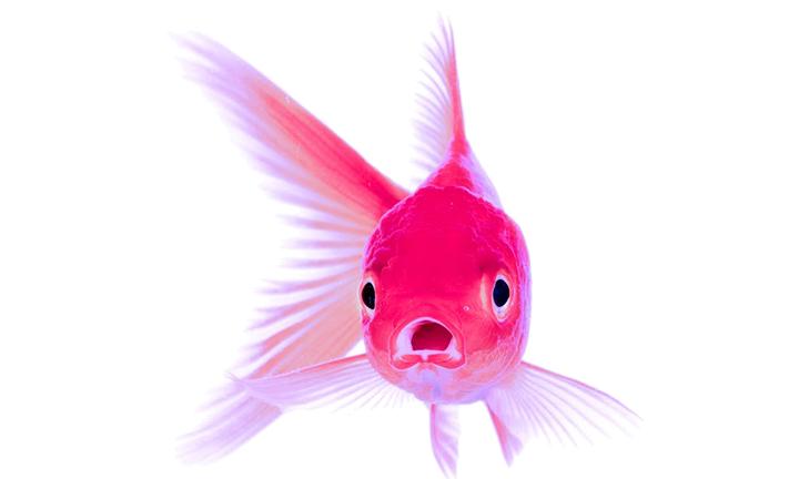 Pink Goldfish