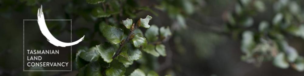 myrtle leaf banner