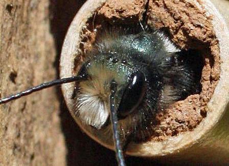 mason bee close up