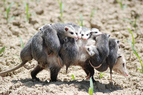 opossum mother and young