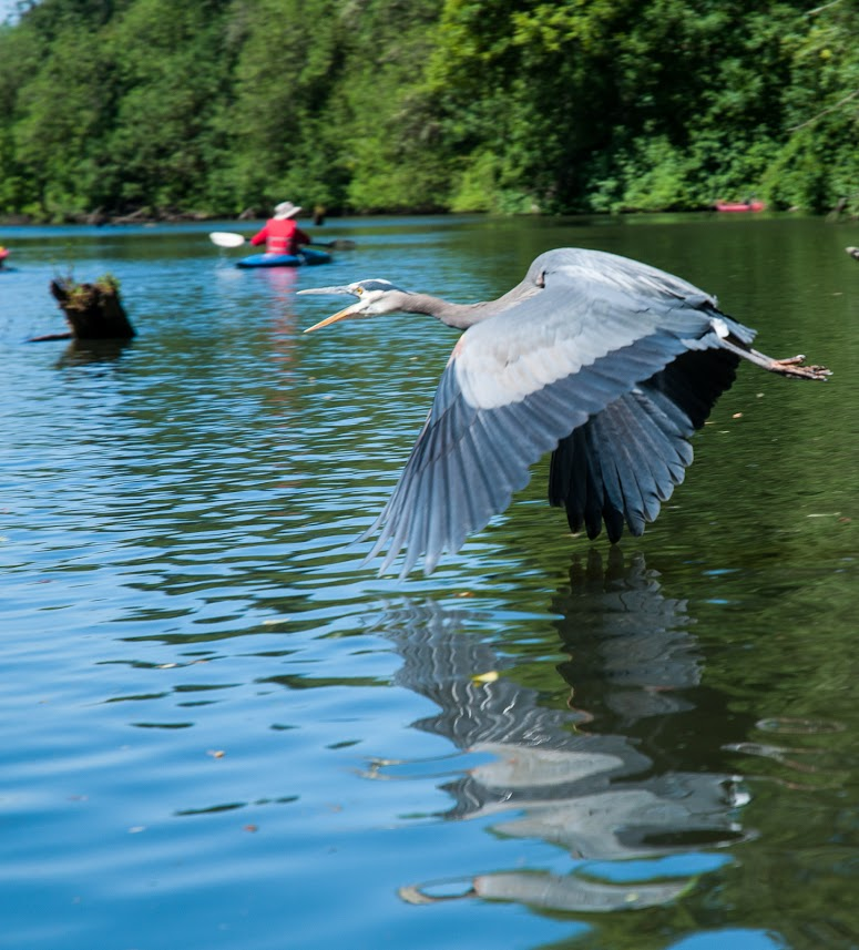 Blue Heron photo by John Driscoll