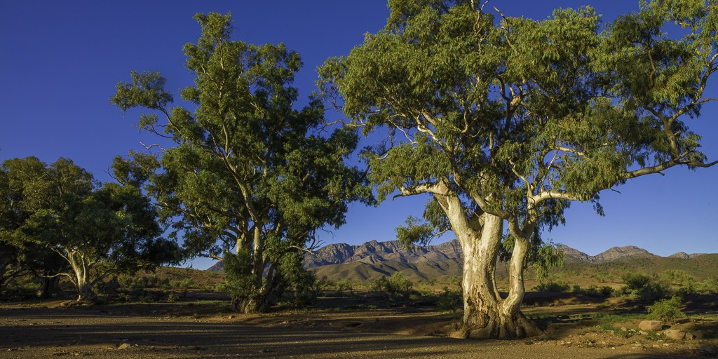 Flinders Ranges Photo Tour River Red Gums