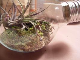 Lightbulb Terrariums