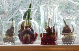 Growing Paperwhites in Vintage Glass