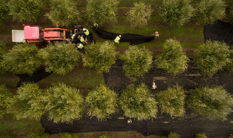 Olive Fall Harvest Drone Blog