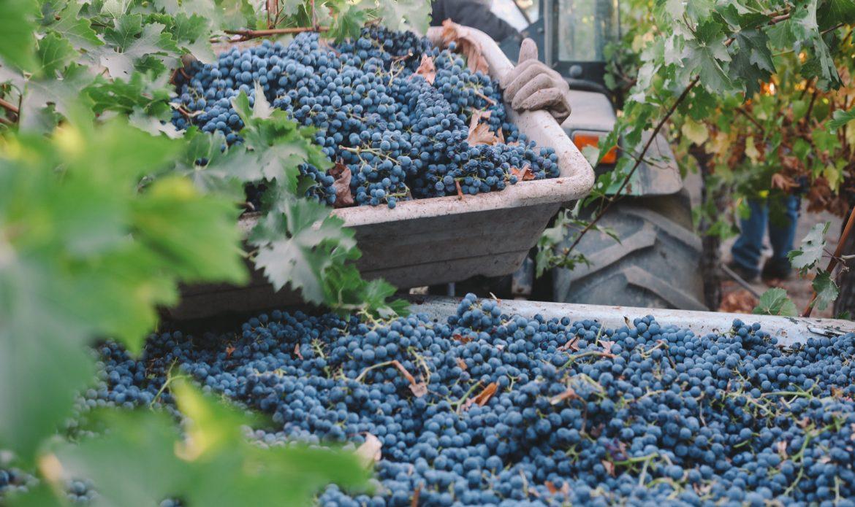 Cabernet Sauvignon Harvest Vineyard Blog