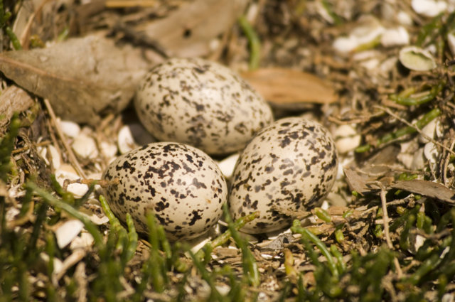 Oyster catcher egg clutch on sand at Lutregala Marsh