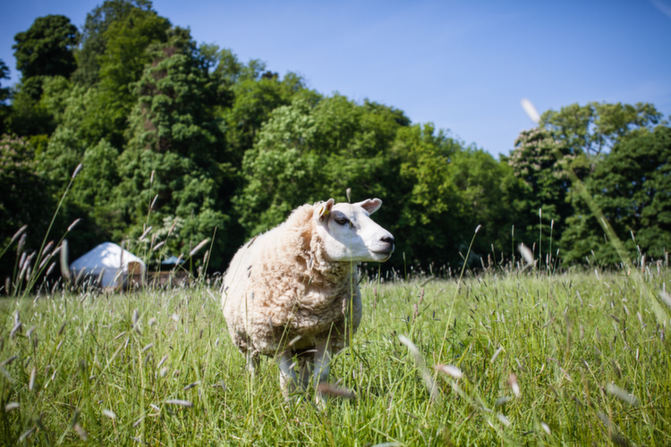 Sheep used as lawnmowers