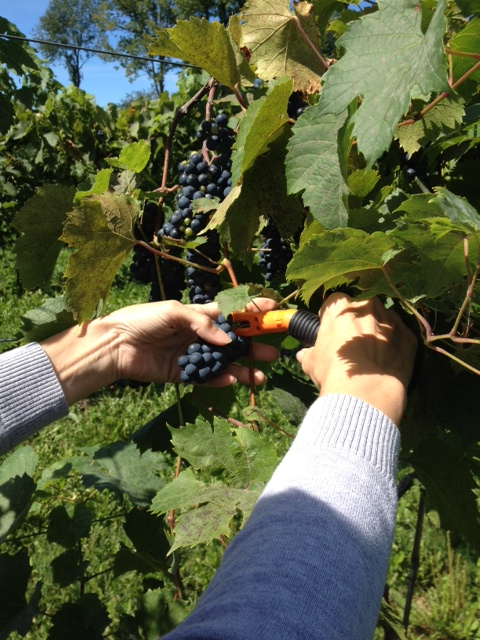 Harvesting Foch Grapes at Victory View Vineyard