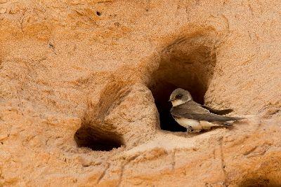 Sand martin nest by Ben Hall (rspb-images.com)