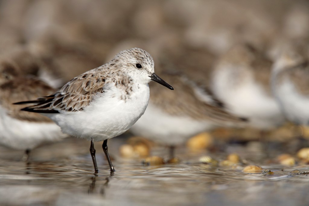 Sanderling Andy Hay