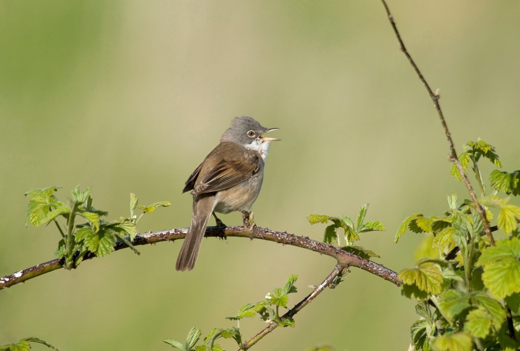 White Throat by John Bridges