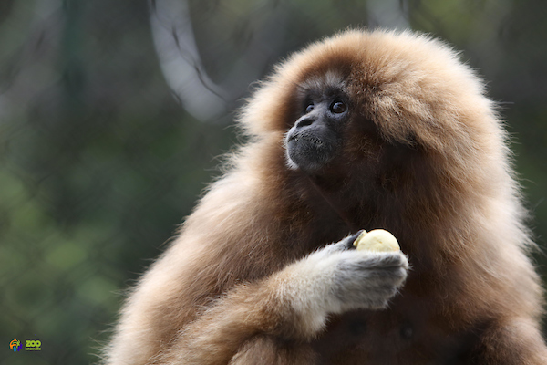 Malay, a white-handed gibbon at Zoo Knoxville