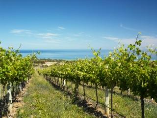 Lebanese vineyard