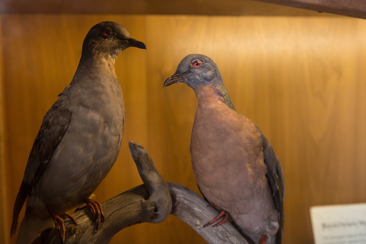 Passenger Pigeons at The Interval