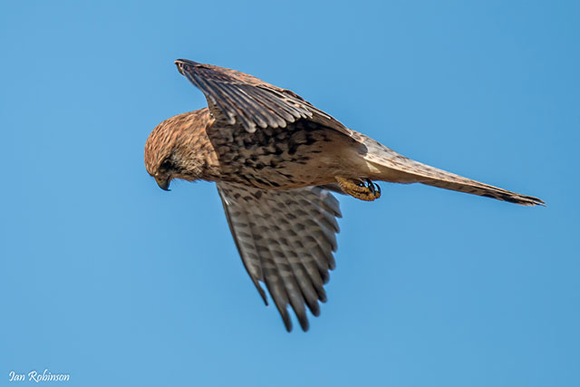 Bird of prey flying