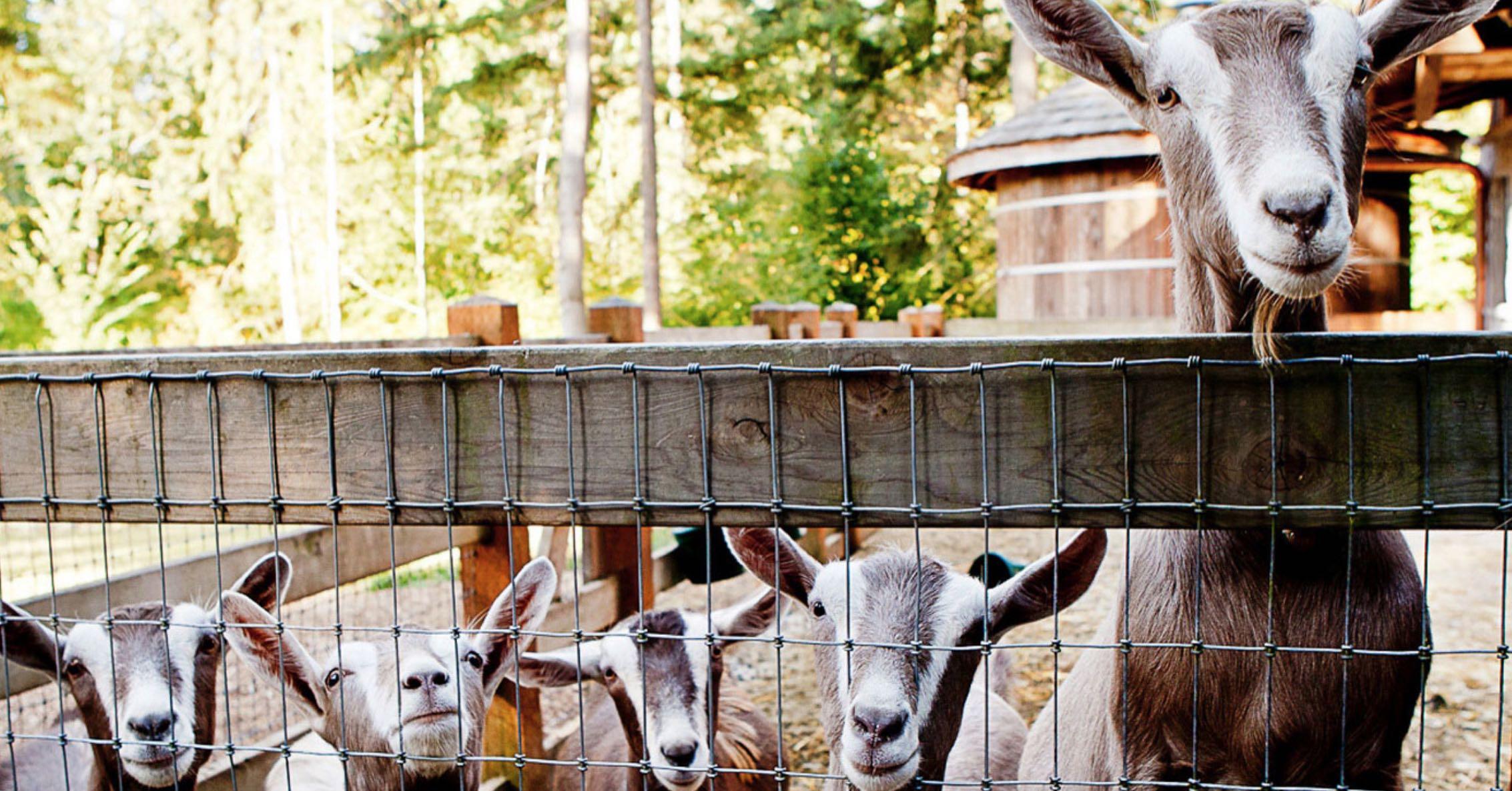 Goats Bella Luna Farms