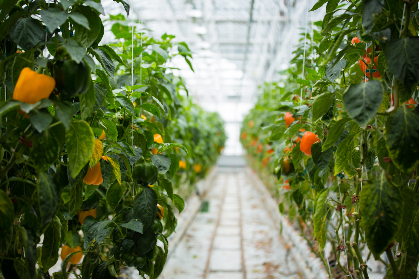Lufa Farms Ahuntsic greenhouse