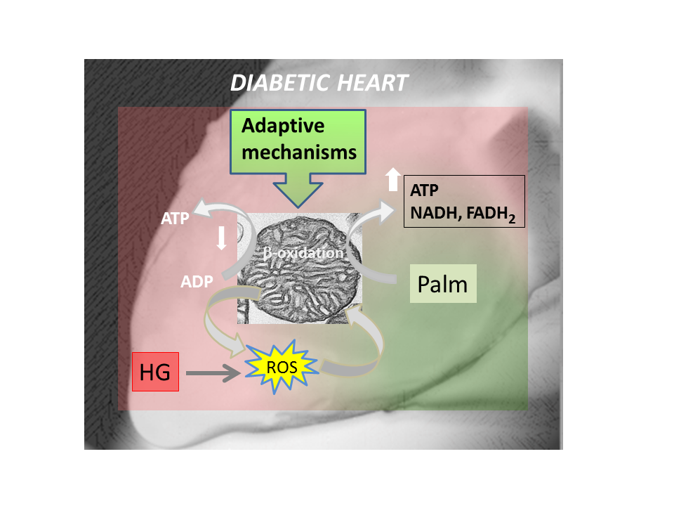 Mitochondrial adaptive mechanisms for overcoming heart dysfunction in diabetes