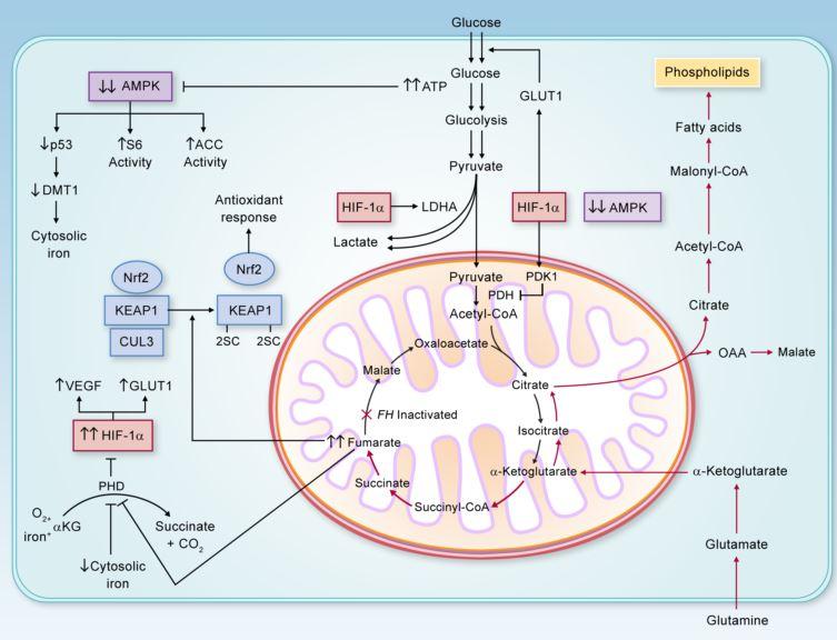 Warburg Effect Mitochondrium
