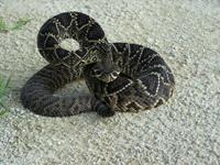 Picture - Eastern Diamondback Rattle Snake