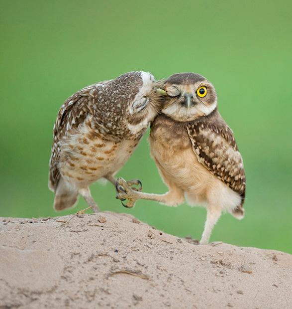 Kissing Owls