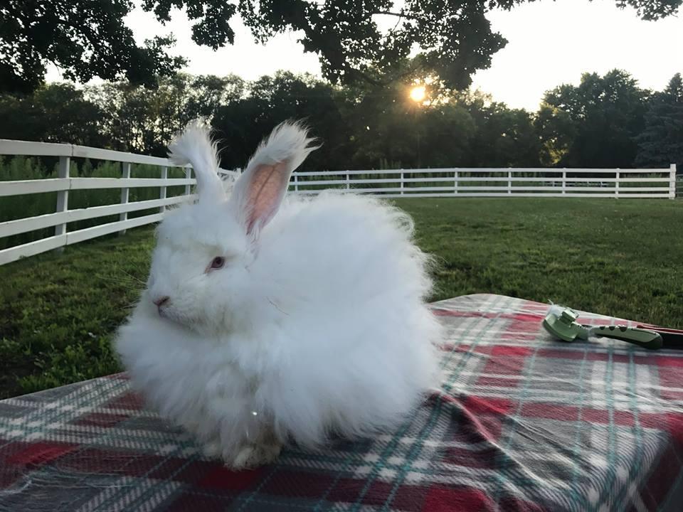 Angora rabbit at Peacebunny Cottage