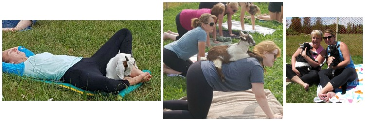 Goat Yoga pictures