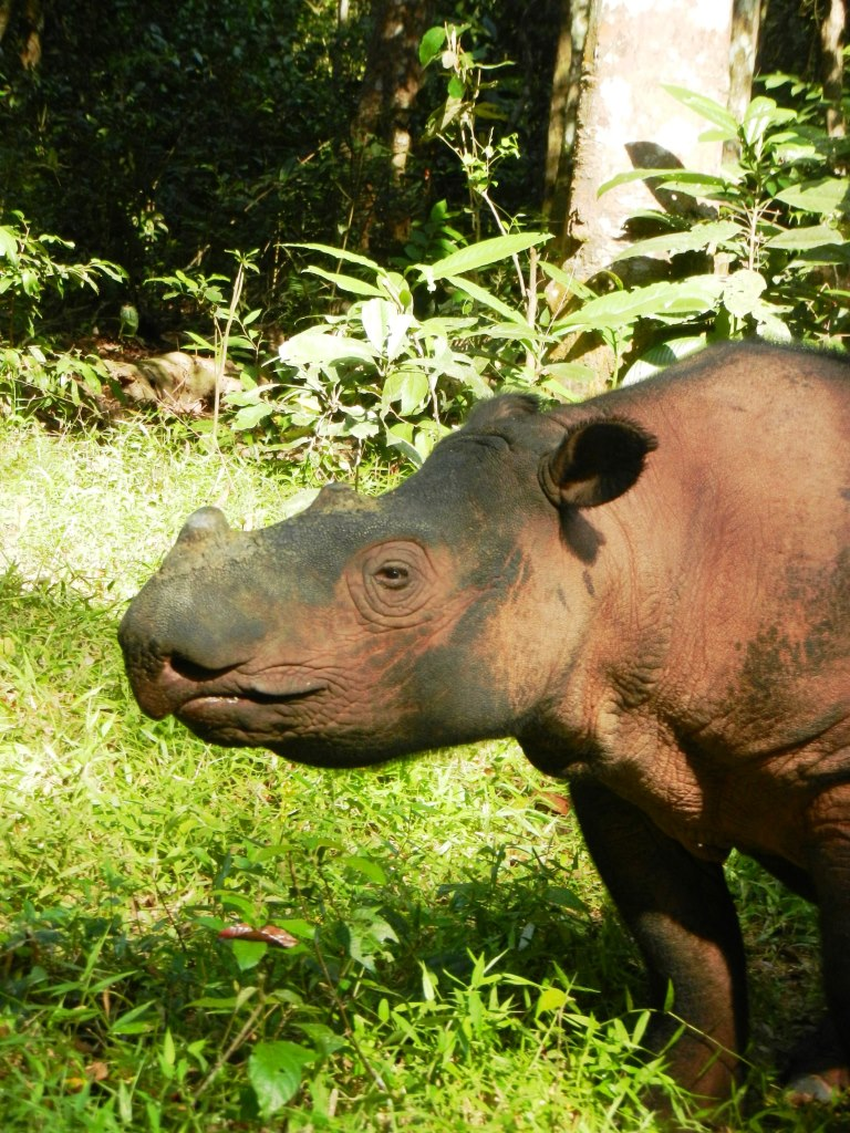 Indonesia, Sumatran rhino sanctuary 2014
