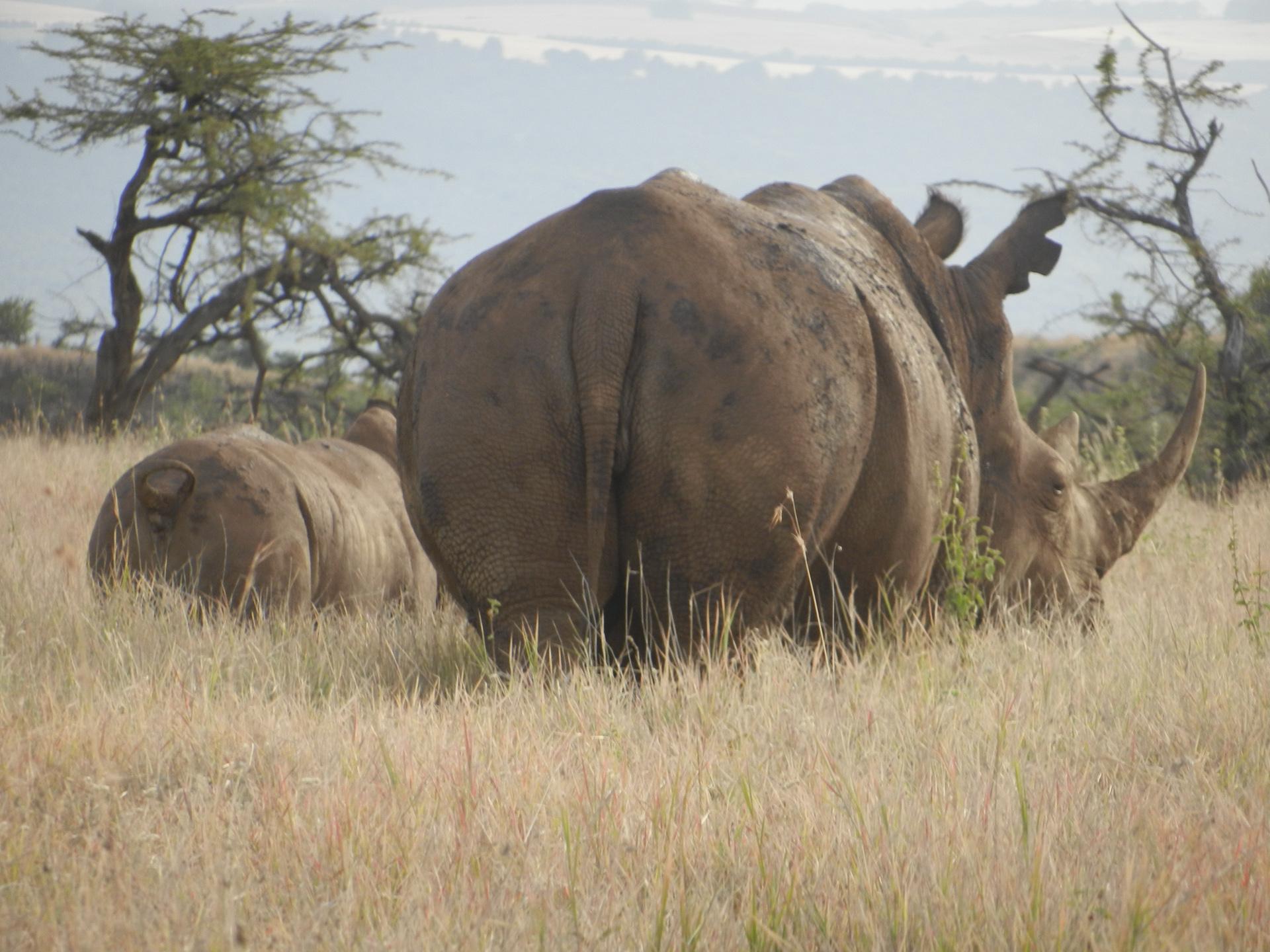 Rhino and calf, Lewa Conservancy, Africa, 2012