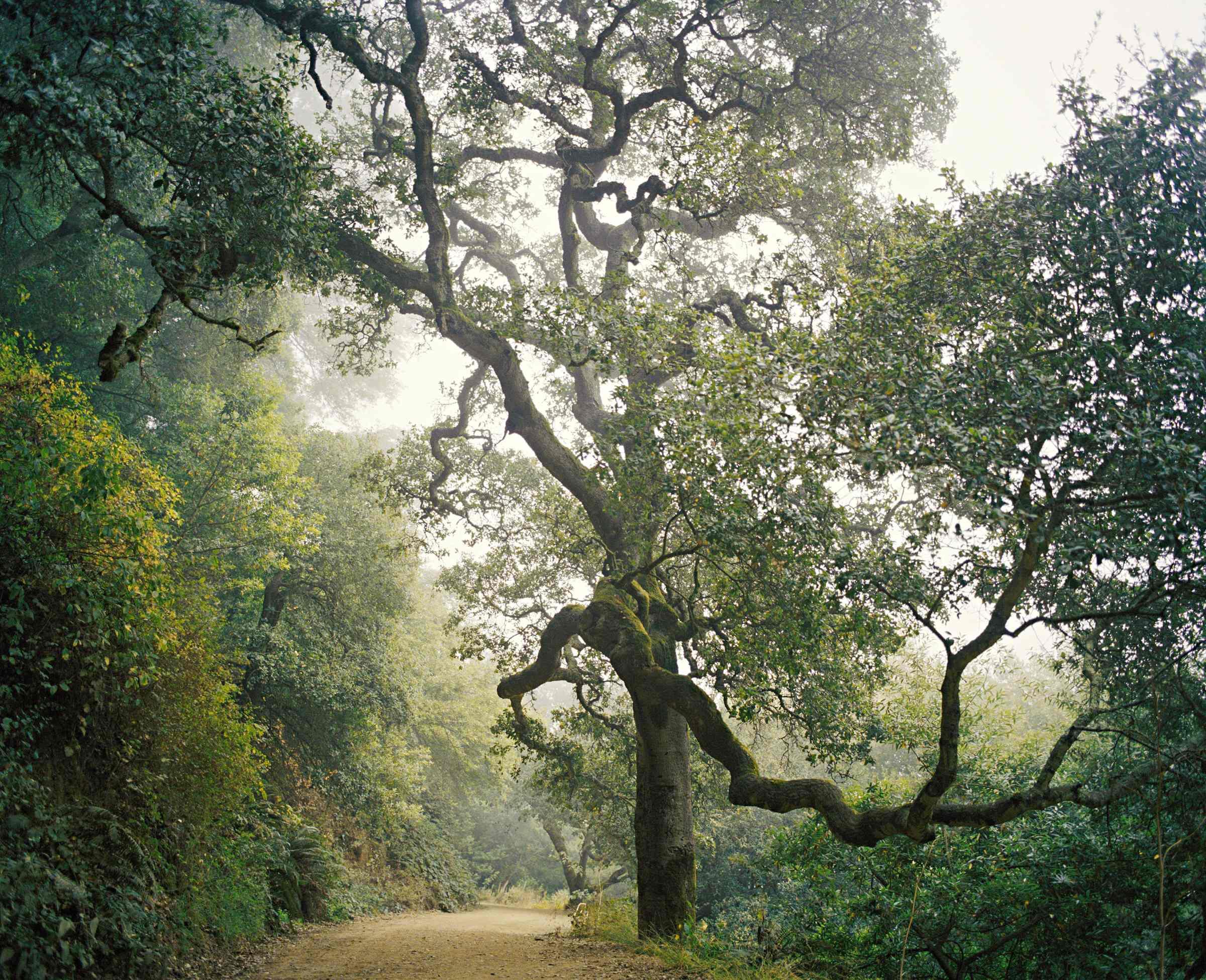 Oak #1 by Deborah O'Grady