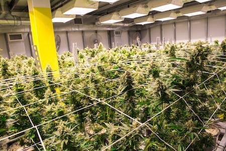 Cannabis Master Grower Practices: Interactive Online Webinar