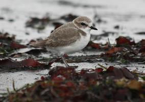 Snowy Plover Walk with the Los Angeles Audubon Society