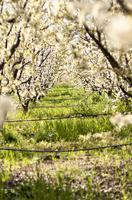 Spring Blossom Walk