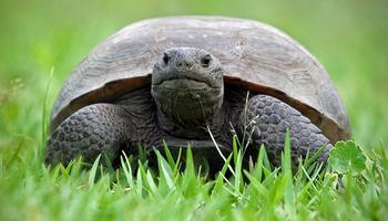 Gopher Tortoises + Prescribed Fire = Increased Biodiversity