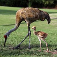 Florida Sandhill Crane Conservation
