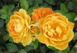 Rose Pruning and Care