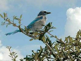 Florida Scrub Jays