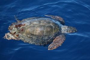 Corsi settimanali su tartarughe marine e cetacei tra...