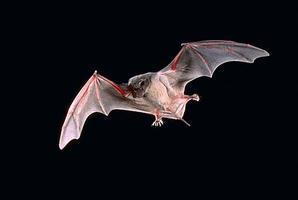 Bats: Myth and Reality