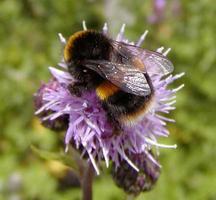 Bumblebee Walk and Talk