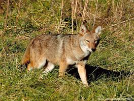 Coyote Awareness - March 26, 2015
