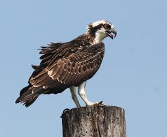 Conserve Wildlife Foundation: All about Ospreys