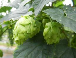NC-VA Regional Hops Conference: Bringing Hop Growers...