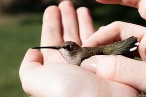 Hummingbird Banding with IBO!