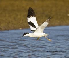 RSPB Wildlife Photography - Avocet Cruise